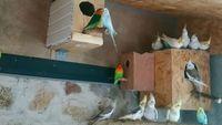 Grandes perruches, perruches ondulé de couleur