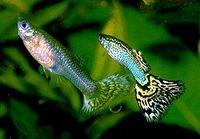 poissons guppys femelles 1.50 € mâles 1 €