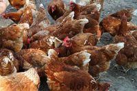 Excellentes jeunes poules pondeuses Isa Brown, grain-paille 31270 Villeneuve-tolosane