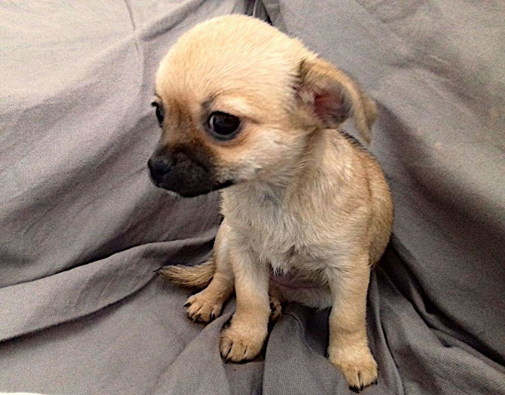 Chiots chihuahua a reserver