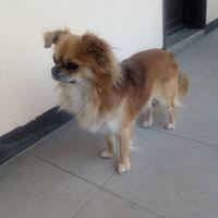Joli Chihuahua disponible pour
