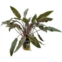 Plante d'aquarium 44330 Mouzillon