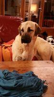 Perdu chienne Kangal ou chien de berger d'Anatolie 0