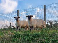 Moutons Shropshire 200