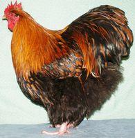 coqs et poules ORPINGTON fauve à lisérés noirs