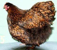 poules ORPINGTON Fauve à lisérés noirs