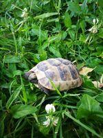 Cède juvéniles tortues de terre 80