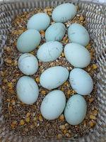 Oeuf fécondés bleu race cream legbar 2 35500 Balazé
