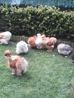 oeufs fecondes de poules soies sylkies 4