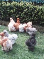 oeufs fecondes de poules soies sylkies