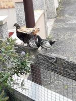 Poules et coques zebryd : 28 35500 Balazé