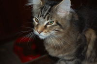 Chatons Maine Coon LOOF 1500 63560 Menat