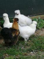 Poules poule soie 30 32150 Cazaubon