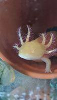 Axolotls gold albinos 20 80370 Bernaville