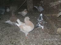 pigeons, toutes couleurs, ( race & communs) 5 25260 Lougres