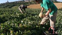 Recherche un emploi à la cueillette des melons 0