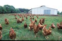 Recherche un emploi dans un élevage avicole 0