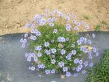 graines de felicia heterophylmla the blue 3 Pau (64)