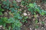 PLANTS ROSIERS 2 Carentoir (56)